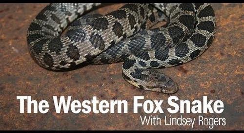 Western Fox Snake 101