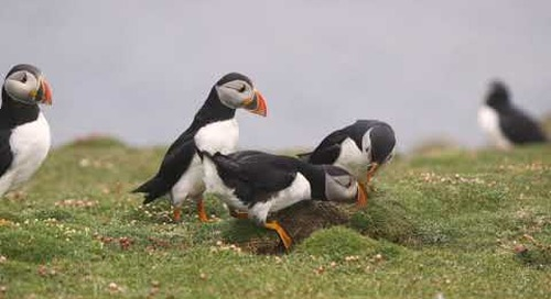 Puffins of Fair Isle: A Love Story