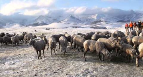 Alberta Bighorn Sheep To Nebraska