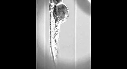 ZEISS Lightsheet Z.1 - Zebrafish Embryo 360°