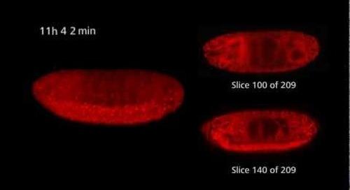 ZEISS Lightsheet Z.1 - Drosophila timelapse