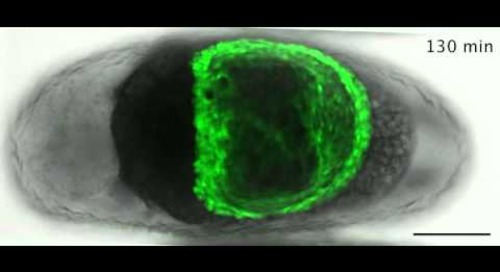 ZEISS ApoTome: Tribolium, late serosal morphogenesis
