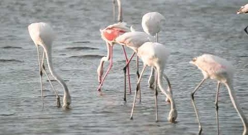 Flamingos at Walvisbay