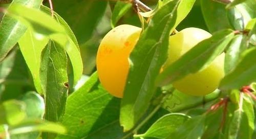 Wild Fruit Trees - Soft Mast