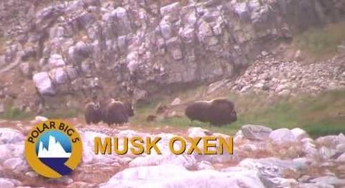 Muskoxen