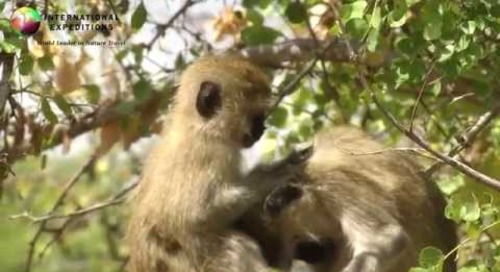 Africa Wildlife: Vervet Monkeys