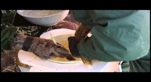 2010 Lake McConaughy Walleye Spawn