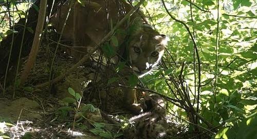 DEN LIFE: Observations of a Mountain Lion Kitten in Nebraska