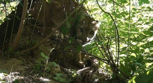 DEN LIFE: Observations of a Mountain Lion Kitten in Nebraska