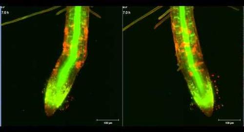ZEISS Lightsheet Z.1: Arabidopsis root growth