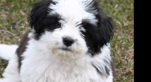 10 Best Small Dog Breeds for Indoor Pets