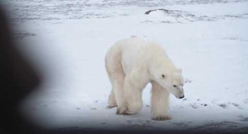 Great White Bear Tours