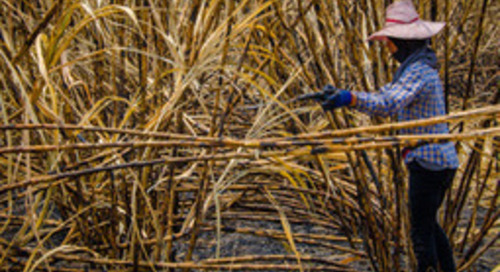 Bonsucro Delivers Environmental and Social Impact in Sugarcane Production