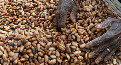 Governments and industry partner on cocoa supply chain sustainability