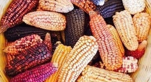 Kellogg pledges responsible sourcing for Argentinian corn
