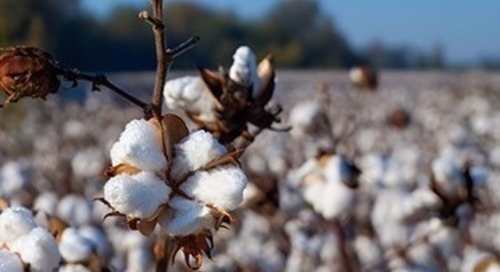 Transparency demands sees sustainable cotton gain ground