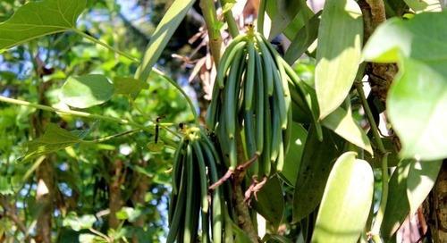 Travail des enfants dans la filière vanille : à éradiquer dès maintenant