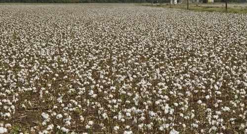 Is progress enough? Forced labor risk persists in cotton supply chains