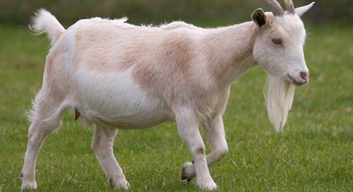Tesco suspends goat's milk supplier over animal abuse