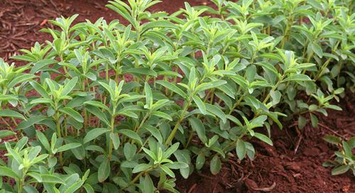 Tate & Lyle investigates stevia supply chain