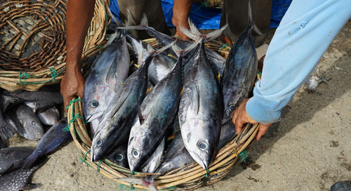 Canned tuna brands fail to tackle modern slavery in supply chains, says human rights group
