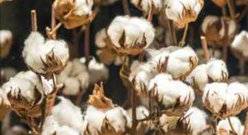 Campaigners set out reforms for Uzbekistan cotton