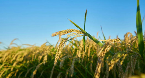 Kellogg talks rice and wheat sourcing in Europe: 'Farmers must be supported in the transition to more sustainable practices'