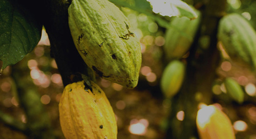 Olam Cocoa strengthens its commitment to end deforestation in Global Cocoa Supply chain