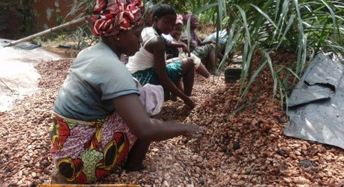 EU-wide approach to due diligence needed to regulate cacao sector, manufacturers and NGOs say
