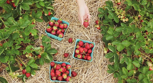 Pick-Your-Own Fruit: Farms Open Near Jersey City