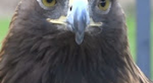 Golden Eagles Featured at Cody's Draper Natural History Museum - KCWY 13 Where News Comes First