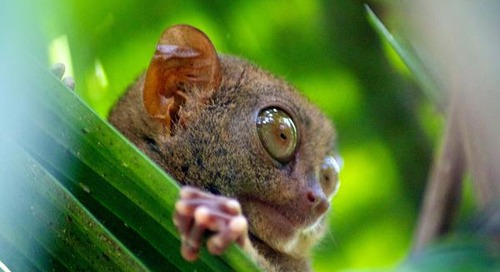 Animal Instincts: Protecting the Philippine Tarsier