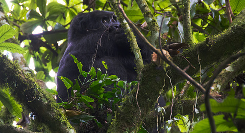 Gorilla trekking in Uganda: How your encounter with wild apes helps protect them