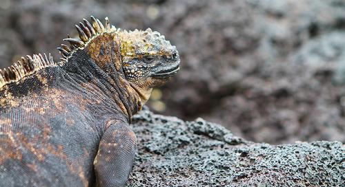 Homegrown in the Galapágos: Marine iguanas
