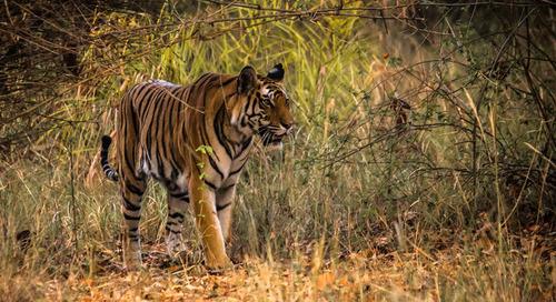 Tigers in art, around the world