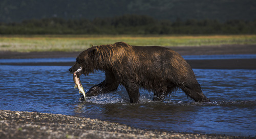 5 fascinating facts about the grizzly bear
