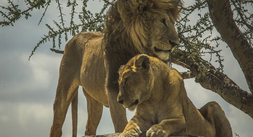 The ABCs of: Spotting lions on safari in Tanzania