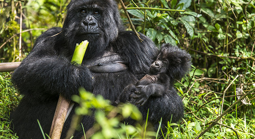 30 years since Gorillas in the Mist: A look at Dian Fossey's legacy