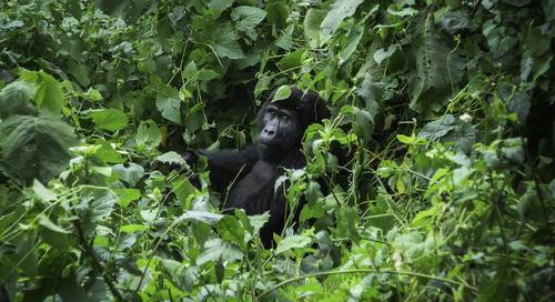 Waking up to Gorilla Coffee in Uganda