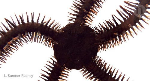 How brittlestars 'see' without eyes