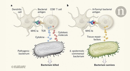 Killer T cells show their kinder side
