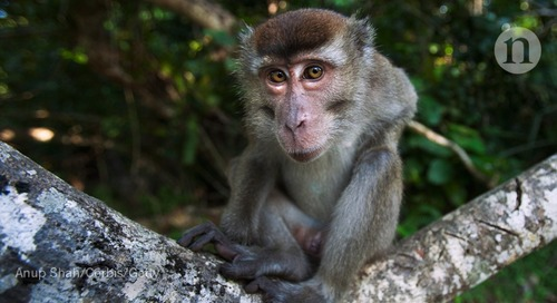 Rare human outbreak of monkey malaria detected in Malaysia