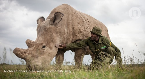 Hybrid white-rhino embryos created in last-ditch effort to stop extinction