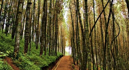 Menikmati Pemandangan Hutan Pinus di Bukit Moko