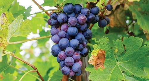 The Red-Wine Grape Gaining Traction in Jersey