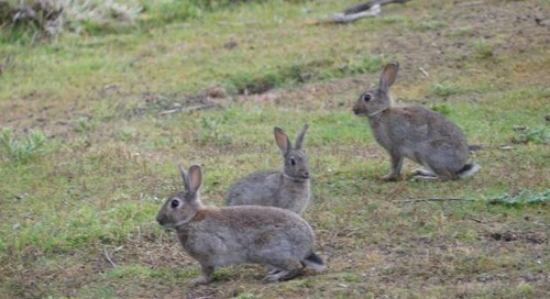 Manawatū's rabbit population on the rise