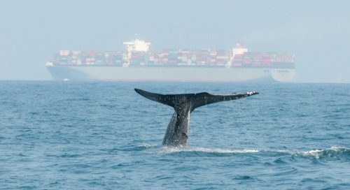 Watching over whales: Online tool detects whales and ships in California's Santa Barbara Channel in near real-time - UW News