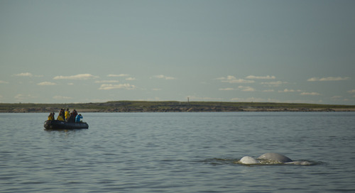 White Whale Wonderland: Cruising with Belugas in Churchill