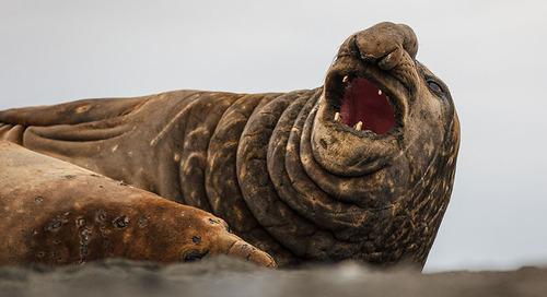 Meet the Southern Elephant Seal: Impressive Antarctic Giants