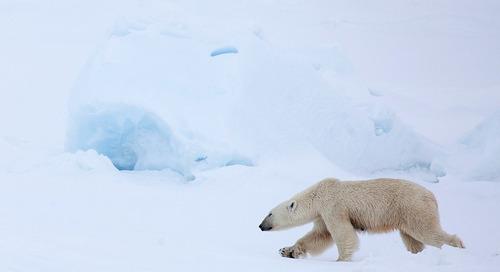 Adopt a Polar Bear on International Polar Bear Day